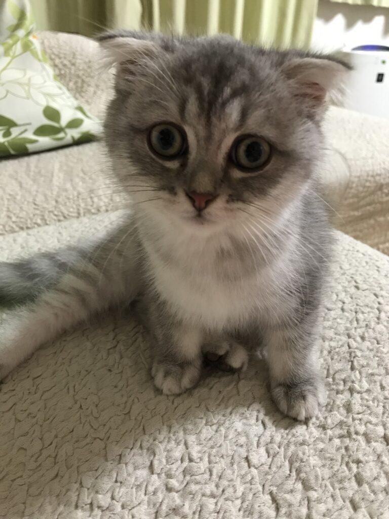 スコティッシュホールド子猫